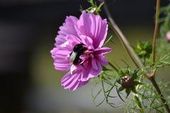 Пчела на космосе 1 Стоковая Фотография RF