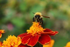Пчела на красном цветке Стоковое Фото