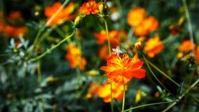 Пчела над красочным цветком Стоковая Фотография