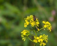 Пчела на крупном плане луга Стоковые Фотографии RF