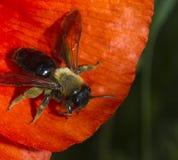 Пчела на маке Стоковое фото RF