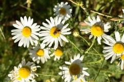 Пчела на Маргарите Стоковые Фото