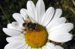 Пчела на маргаритке Стоковые Изображения