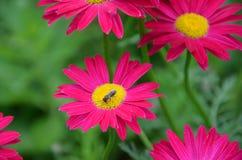 Пчела на маргаритке Стоковая Фотография