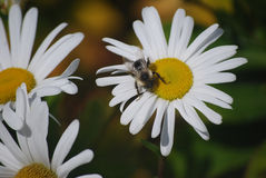 Пчела на маргаритке стоковое изображение