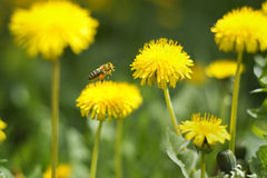 Пчела на одуванчике Стоковые Фото