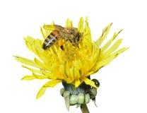 Пчела на одуванчике 14 Стоковые Изображения