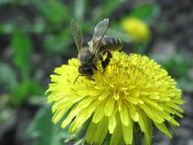 Пчела на одуванчике Стоковое Изображение