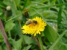 Пчела на одуванчике Стоковые Изображения
