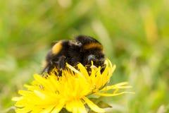 Пчела на одуванчике Стоковая Фотография
