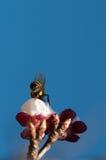 Пчела на персике Стоковая Фотография RF