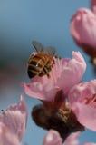 Пчела на персике Стоковые Фотографии RF
