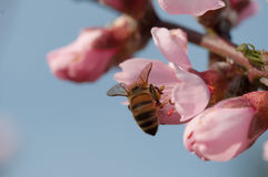 Пчела на персике Стоковое Изображение RF