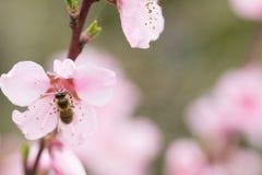 Пчела на персике Стоковое фото RF