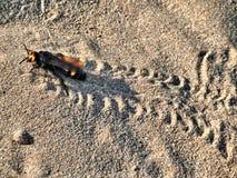 Пчела на песке Стоковые Фото