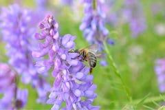 Пчела на пурпуровом цветке Стоковая Фотография
