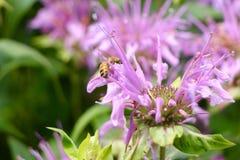 Пчела на пурпуровом цветке стоковые изображения rf