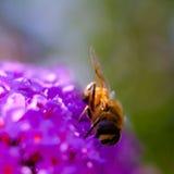 Пчела на пурпуровом цветке Стоковые Фотографии RF