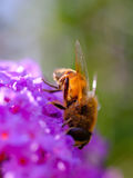 Пчела на пурпуровом цветке Стоковая Фотография RF