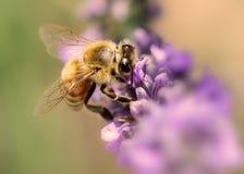 Пчела на работе на лаванде стоковые изображения rf