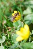 Пчела на работе стоковое изображение