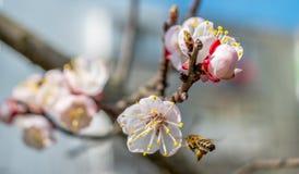 Пчела на работе Стоковые Изображения