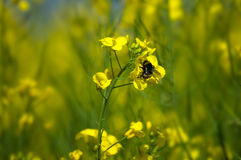 Пчела на рапсе семени масличной культуры Стоковое фото RF