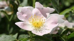 Пчела на розовом цветке акции видеоматериалы