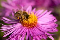 Пчела на розовом цветке Стоковые Изображения RF