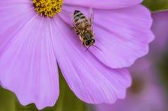 Пчела на розовом цветке 1 Стоковое Изображение