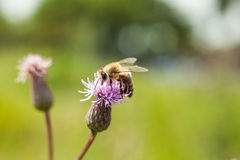 Пчела на розовом thistle поля цветка Стоковые Изображения RF