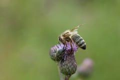 Пчела на розовом thistle поля цветка Стоковые Фотографии RF
