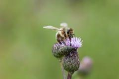 Пчела на розовом thistle поля цветка Стоковые Изображения
