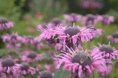 Пчела на саде Стоковые Фотографии RF