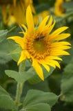 пчела на солнцецвете в поле Стоковые Фото