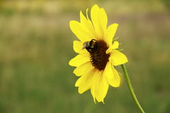 Пчела на солнцецвете горы Стоковые Фото