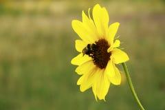 Пчела на солнцецвете горы Стоковые Изображения