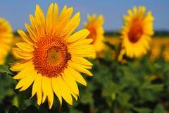 Пчела на солнцецвете, южной Моравии, чехии Стоковое фото RF