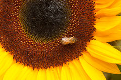 Пчела на солнцецвете Стоковое Фото