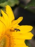 Пчела на солнцецвете Стоковое фото RF