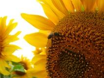 Пчела на солнцецвете Стоковые Изображения