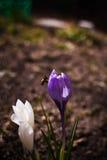 Пчела на фиолетовом крокусе Стоковое Фото