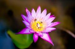 Пчела на фиолетовом лотосе с предпосылкой нерезкости стоковая фотография rf