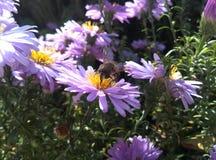 Пчела на фиолетовом цветке Стоковая Фотография RF