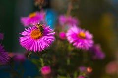 Пчела на фиолетовом цветке Стоковое Фото