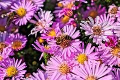 Пчела на фиолетовом цветке Стоковые Фото