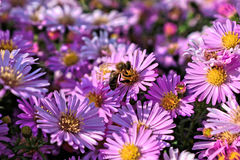 Пчела на фиолетовом цветке Стоковые Изображения