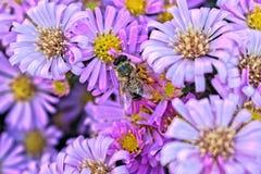 Пчела на фиолетовом цветке Стоковая Фотография