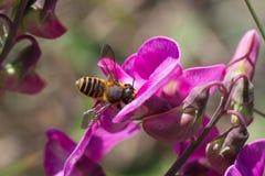 Пчела на фиолетовых цветках Стоковое Фото
