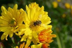 Пчела на хризантеме стоковые фото